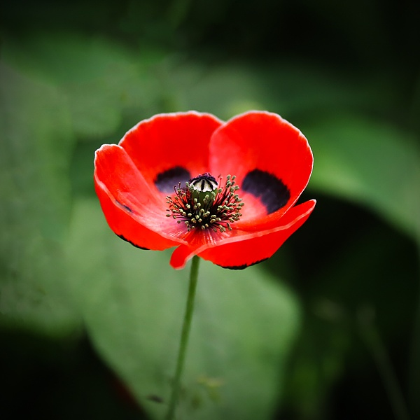 Poppy by Les_Cornwell