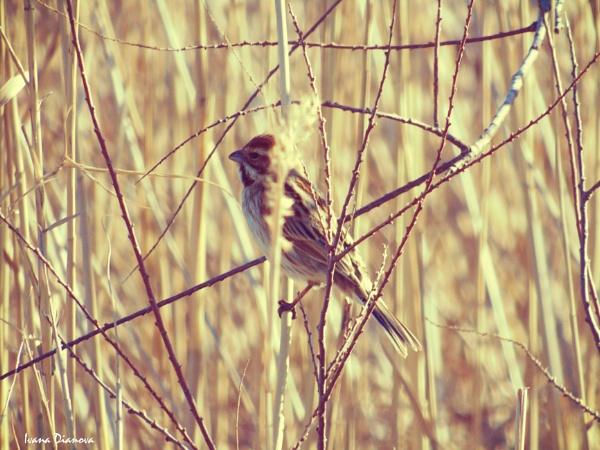 Reed Bunting - Emberiza schoeniclus by idiabb