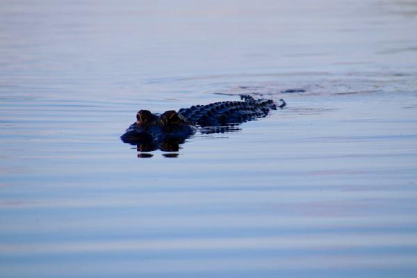 alligator by jocas