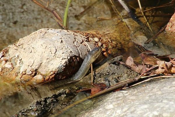 venomous snake by jocas