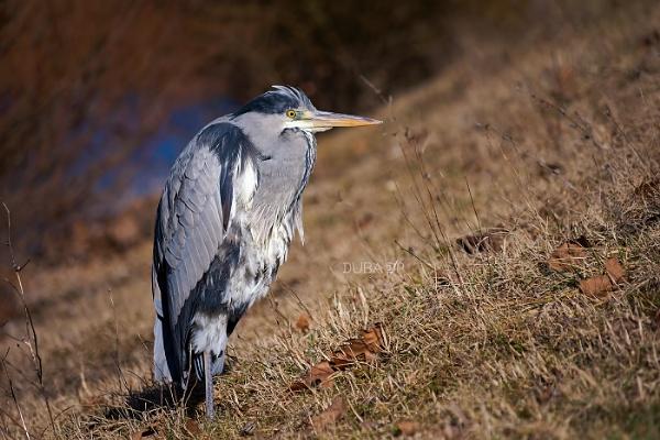 Sunbathing heron by duba