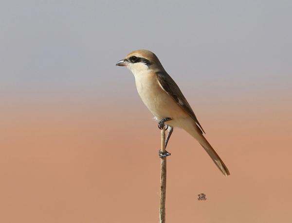 Brown Shrike by paul_kinnock