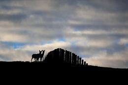 Two Roe Deer Silhouette