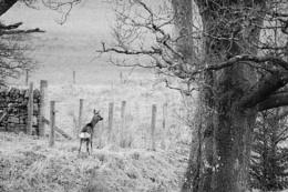 Female Roe Deer in Black & White