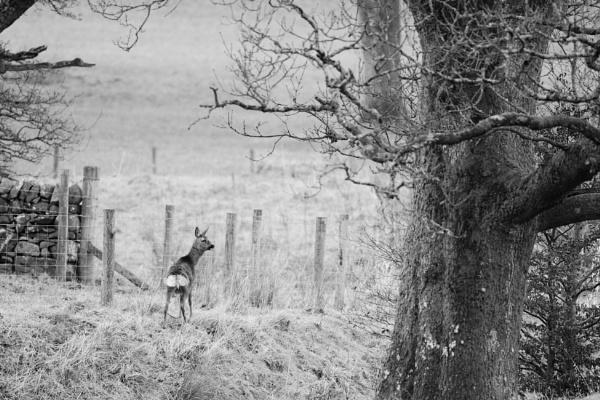 Female Roe Deer in Black & White by sjcphotography