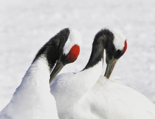 Snow cranes by hannukon