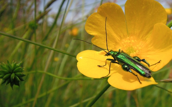 Beetle on Buttercup ... by SocksAndStuff