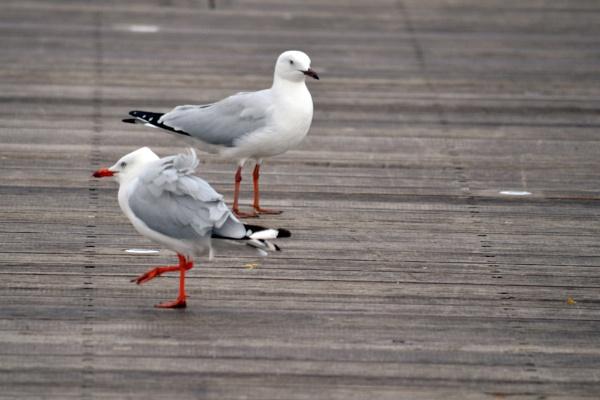 Seagulls by SaadToma