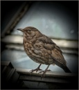 Mrs Blackbird by Big_Beavis