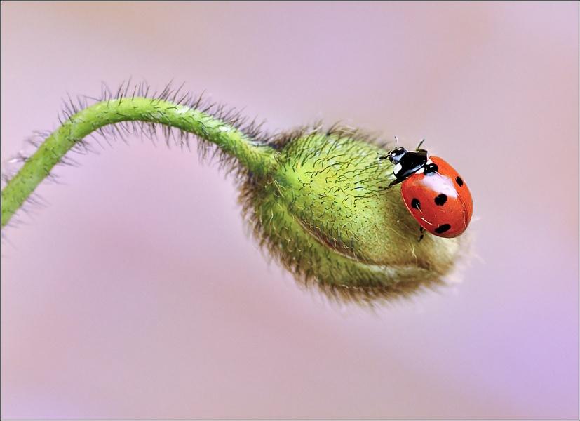 Ladybird / Poppy