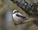 Long-tailed Tit by MalcolmM
