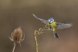 Blue Tit Landing