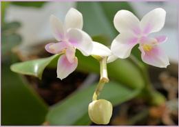 ** Mini Orchid **