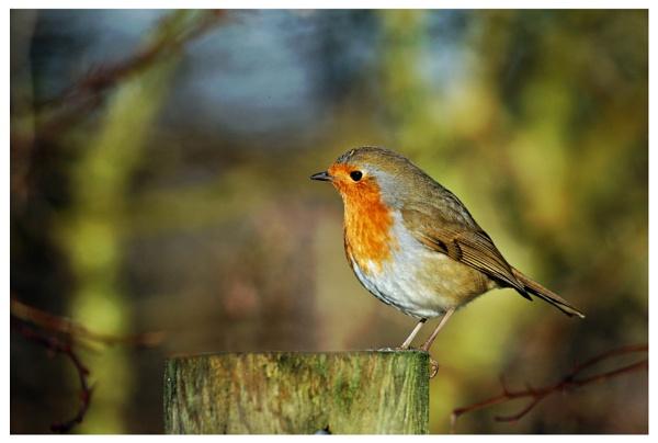 Robin Redbreast by davidgibson