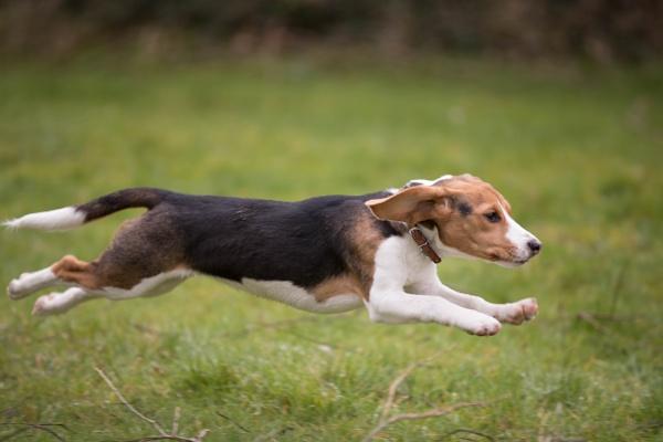 Beagle by sjk123