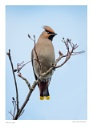Waxwing 2 by running_man