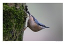 Nuthatch Watching by running_man
