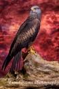 Black Kite by FionaB