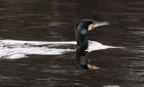 Cormorant by oldgreyheron
