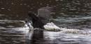Cormorant landing by oldgreyheron