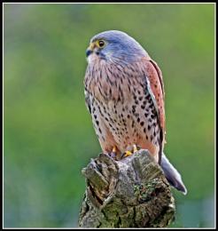 Kestrel (Falco Tunnunculus)