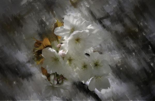 Cherry Blossom by jonirock