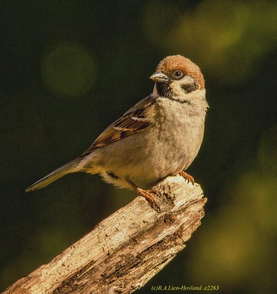 Sparrow.e2263 by Richard Hovland
