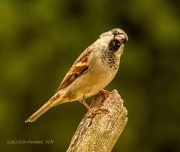 sparrow.3151