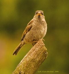 Sparrow.2698