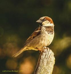 Sparrow. 2257