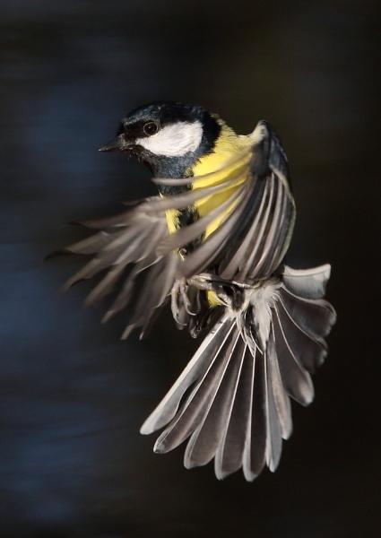 Great Tits in Flight