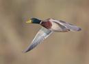 Mallard in Flight by NeilSchofield