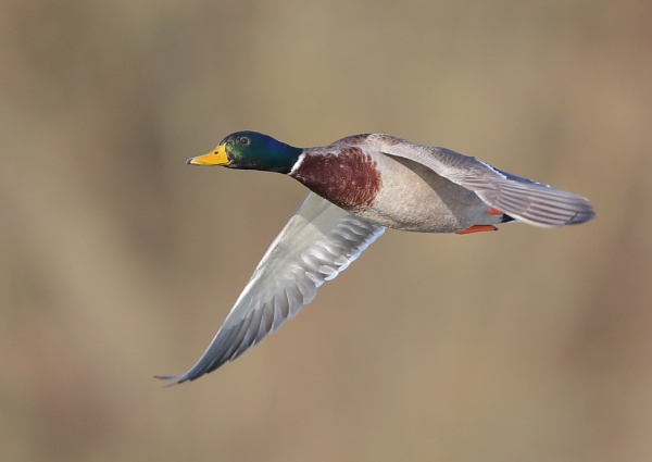 Mallard in Flight by NeilSchofield
