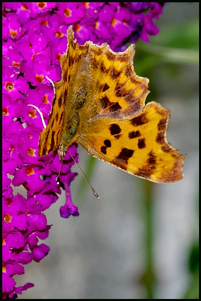 """Comma\"". by Badgerfred"