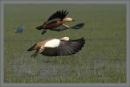 Rudy Shel duck by prabhusinha