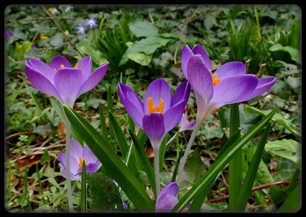 Purple Crocus by HobbitDave