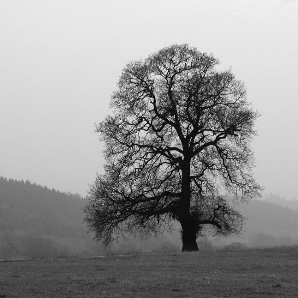 Lone tree in mono