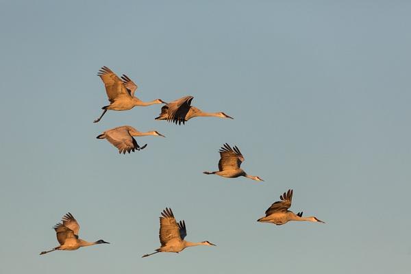 Seven Sandhill Cranes by rontear