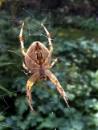 Garden Spider by TonyDy