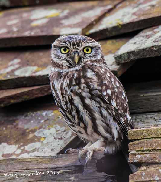 little owl by dj_gary
