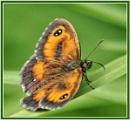 Gatekeeper Butterfly by PhilT2