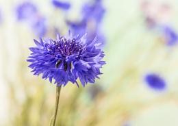 Cornflower.