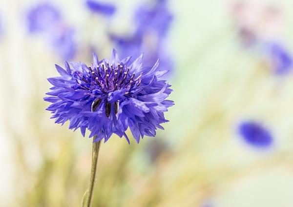 Cornflower. by iancrowson