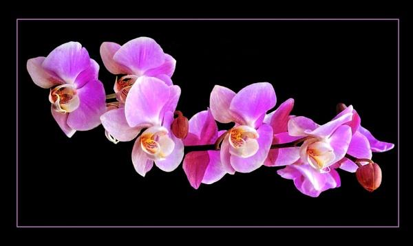 Glowing Pink by sweetpea62