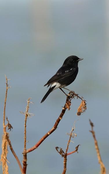 Black Bird by swami1969
