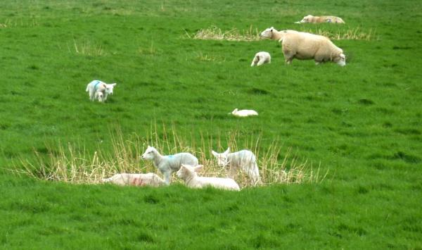 New Lambs by JuBarney