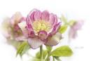 Spring Hellebore by jackyp