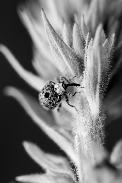 Weevil by gowebgo