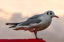 Evening Gull