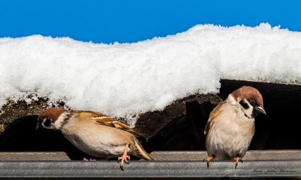 Winter sparrows. by kuvailija